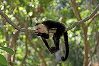 White Throated Capuchin, Cebus capucinus, Roatan, Honduras, adult resting on tree