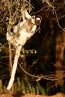 Verreaux`s Sifaka, Propithecus verreauxi coronatus, Berenty Game Reserve, Madagascar, adult on tree
