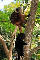Black Lemur, Lemur macaco, Nosy Komba, Madagascar, adult couple with baby on tree