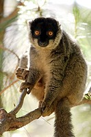 Common Brown Lemur, Eulemur fulvus fulvus, Madagascar, adult male on tree