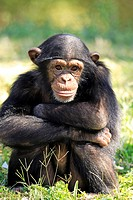 Chimpanzee, Pan troglodytes troglodytes, Africa , young