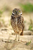 Burrowing Owl, Athene cunicularia, Cape Coral, Florida, USA, adult