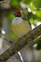 Gouldian Finch, Chloebia gouldiae, Australia, adult on tree