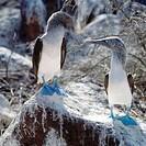 Blue footed boobie. Galapagos Islands.