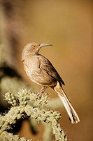 Curve-billed Thrasher (Toxostoma curvirostre) - Arizona - The most  common desert thrasher - Resident southwest U.S   to southern Mexico - Excellent s...