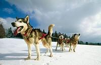 Husky sleigh dogs. Les Fourgs. Doubs. Franche-Comté. France.