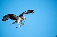 Osprey (Pandion haliaetus). Florida (USA)