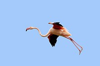 Greater Flamingo (Phoenicopterus ruber). Bouches du Rhone. France.