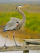 Great Blue Heron (Ardea herodias). Cove Harbor in the city of Rockport, Texas, United States