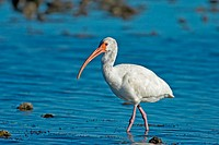 White Ibis (Eudocimus albus)