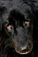 Chesnut eyes black dog  (newfoundland/ australian sheperd mixture)
