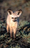 Bat-Eared Fox (Otocyon megalotis). Serengeti National Park, Tansania