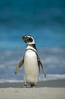 Magellanic penguin (Spheniscus magellanicus) Falkland Islands South Atlantic