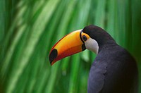 Toco Toucan (Ramphastos toco) - Panama