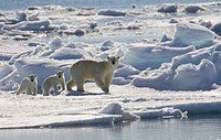 Polar bear sow and two young cubs (Ursus maritimus)