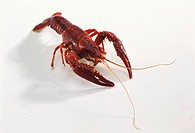 A Louisiana red swamp crayfish Procambarus clarkii