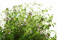Thyme close-up