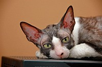 Female Cornish Rex show cat in black and white