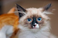 Ragdoll kitten with odd color pattern for pet not for show