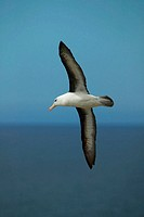 Black-browed Albatross (Diomedea melanophris), Falkland Islands, South Atlantic