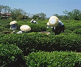 Female workers in large hats picking tea