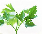 Fresh parsley (Petroselinum crispum)
