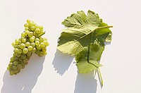 White wine grapes, variety ´Weisser Burgunder´