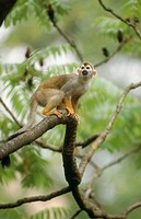 Common Squirrel Monkey (Saimiri scireus)