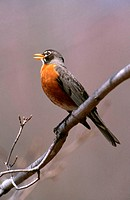 An american robin (Turdus migratorius) singing, perched in a tree. Connecticut