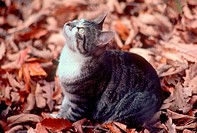 A cat sits attentively on a bed of fall leaves.