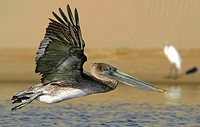 Juvenile Brown Pelican (Pelecanus occidentalis) in flight in Morro Bay, CA.