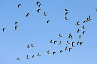 Brent Geese (Branta bernicla) flock in flight with blue sky, Norfolk, Uk, March