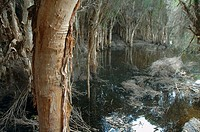 Spooky swamp filled with paperbark trees (Melaleuca sp.), Herdsman Lake Reserve, Perth, Western Australia