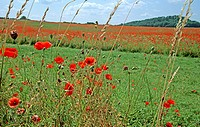 Summer medow with poppy flowers in the Weser hilly region. Lower Saxony. Germany