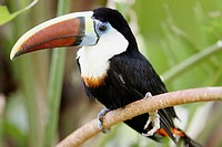 White-throated Toucan (Ramphastos tucanus)