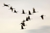 Sandhill Cranes (Grus canadensis). Bosque del Apache National Wildlife Refuge. New Mexico. USA