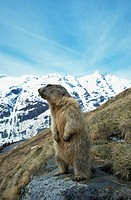 Marmota marmota, with the mountain Grossglockner in the background, Saeugetiere. Austria