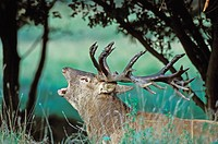 Red Deer, male, (Cervus elaphus), belling