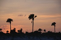 Palm trees and sea oats (Uniola paniculata), sunset