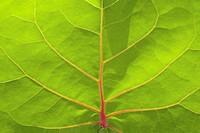 Leaf, full frame