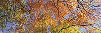 Autumn leaves on beech trees, low angle view