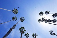 USA, California, Santa Barbara, palm trees, low angle view