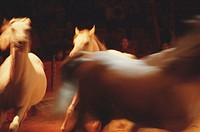 Three white horses running in arena (blurred motion)