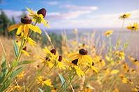 USA, Washington, black eyed susan flowers in valley, close-up