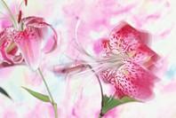Stargazer lilies, close-up