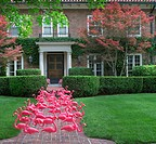 Flock of pink flamingos standing on front sidewalk