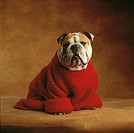 Bulldog wearing red sweater
