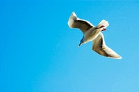 Glaucous Gull (Larus hyperboreus) in flight. Sidney, British Columbia, 17 Canada February 2006. Canada