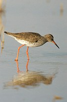Redshanks (Tringa totanus) in marsh. Sevilla, Andalusia, Spain