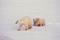 Mother polar bear with cubs, Canada